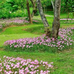 """Rain Lily Pink (Zephyranthes Robusta) Deer resistant rain lilies - """"paint"""" your garden in lush colors!  :)  Hardy zones 7-11"""
