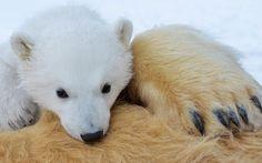 """Un cachorrito de oso polar sobre su madre sedada. Por Gordon Buchanan, parte del especial """"The Polar Bear Family & Me"""" de la BBC."""