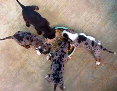 louisiana-catahoula-leopard-dog-puppies.jpg (400×311)