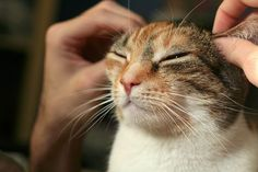 """A cat getting ear acupressure ~ loves it! """"Massage your ears daily and your organs and whole body will benefit"""" #cats"""