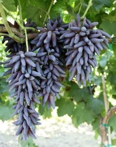 Grape 'Witch fingers'