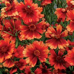 Buy Coreopsis Desert Coral Perennials Online. Garden Crossings Online Garden Center offers a large selection of Coreopsis Plants. Shop our Online Perennial catalog today.