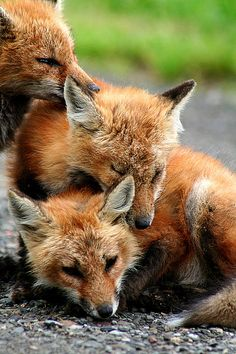 Lovely foxes,,,