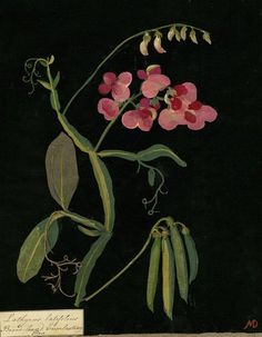 Botanical Art. Mary Granville Pendarves Delany (1700-1788)