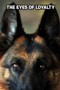 The German Shepherd More