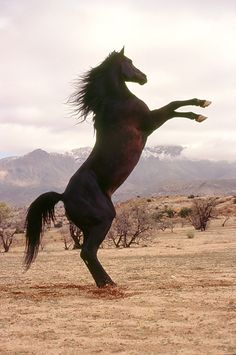 The one and only BLACK Stallion and all his young adult books about horses - the great Walter Farley. Beautiful Arabian Horses, Most Beautiful Horses, Pretty Horses, Black Horses, Dark Horse, Horse Dance, Horse Movies, Unicorn Horse, Black Mountain