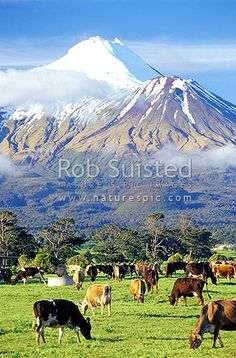 Mount (Mt) Egmont / Mount (Mt) Taranaki above grazing dairy cows and lush grass paddocks. Dairy cattle, Eltham, South Taranaki District, Taranaki Region, New Zealand (NZ).