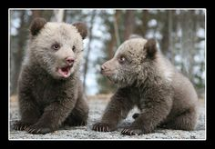 Bear cubs (www.laplandpostcard.com): Photo by Photographer Samuel Arnfjell ysumtest
