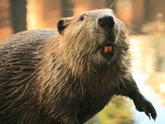"""Listen here as Mr. Buck Tooth, """"Rodent of the Year,"""" accepts his honor at a meeting of the American Association of Gnawing Rodents."""