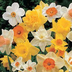 Mixed Daffodils Super Sak®
