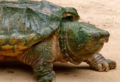 Alligator Snapping Turtle is Actually Three Species, Study Finds