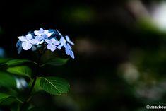 写真 紫陽花 202001 去年の蔵出し。(^_^;A My Works, Plants, Flora, Plant