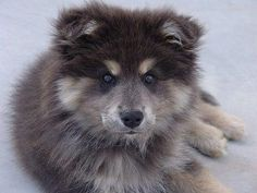 Finnish Lapphund. Look at this face
