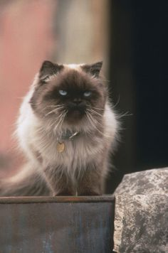 """Sassy from Homeward Bound. She immortalized """"cats rule and dogs drool,"""" and is thus, perfection."""