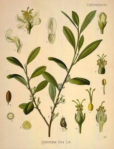 coca plant.