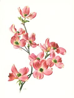 1972 Vintage floral art Botanical art Flowering by Pink Dogwood, Dogwood Flowers, Botanical Flowers, Botanical Illustration, Botanical Prints, Purple Flowers, Dogwood Flower Tattoos, Tree Tattoo Back, Rose Fuchsia