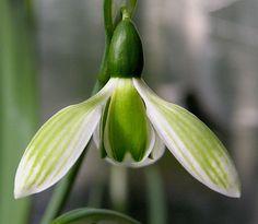 Galanthus elwesii ROSEMARY BURNHAM