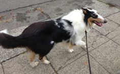 Happy to be out for a walk- harlequin blue Merle rough collie, Huxley