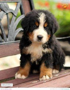 Saint Bernese Mix Puppy