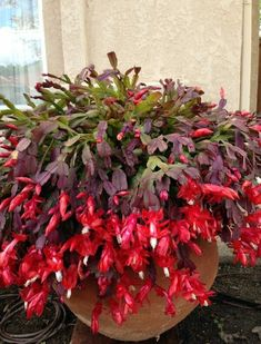 Best 12 Christmas cactus blooms in winter. Christmas Cactus Plant, Inside Plants, Planting Flowers, Plants, Cacti And Succulents, Flower Planters, Trees To Plant, Indoor Plants, Planting Succulents
