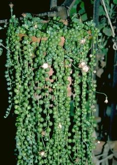 46 Best House Plants I want images | Indoor house plants, Planting Indoor House Plant String Of Pearls Html on succulents string of pearls, golf string of pearls, flower string of pearls,