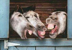 Funny donkey birthday cards 3 donkeys laughing funny birthday card greeting card by Smiling Animals, Laughing Animals, Happy Animals, Animals And Pets, Funny Animals, Cute Animals, Beautiful Horses, Animals Beautiful, Funny Horses