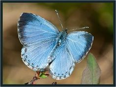 Northern Spring Azure - Butterflies of Ontario