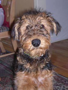 Puppy fuzz!!! A darling Airedale puppy all fluffy and adorable❤️