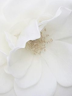 This Insignificant Life - nature-and-culture:   White rose in Holland...