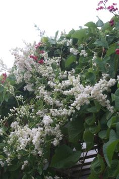 White Rose of Montana, White Coral Vine