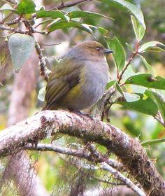 Yellow-flanked Whistler , kancilan buah (Hylocitrea bonensis) - endemic bird, - Passeriformes, Pachycephalidae