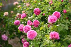'Louise Odier ' Rose Photo