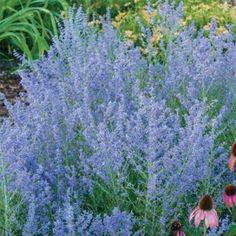 Peek-a-Blue Russian Sage- Keeps away deer and rabbits.