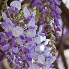 Amethyst Falls Wisteria | Amethyst Falls Wisteria Vines for Sale | Fast Growing Trees