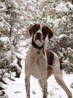 English Pointer Dog Puppy ** You can find more details about pet dogs by visiting the image link.
