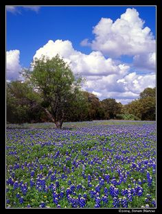 A field of bluebonnets--the state flower--and a good example of the Texas landscape I love.