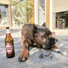 Weather like this I think I'll just have a beer on Holliday in Italy family protection dog Large Dog Breeds, Large Dogs, Dogs For Sale Uk, Cane Corso For Sale, Alcohol Pictures, Emergency Vet, Dog Nutrition, Picture Credit, Dog Friends