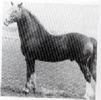 Capston comet was born in 1967, he is by Parc Dafydd and out of Teify Queen by Brenin y Bryniau.