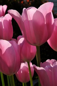 Pretty in Pink!  @Robin Krumins' stunning photograph of her pink tulips.