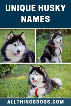 Did you know that Huskies originate from Siberia? Why not honor the birthplace of this breathtaking snow dog by choosing a Siberian name for your Husky. Choose from our top selection of unique Husky Names for your new husky.  #uniquehuskynames #huskynames #dognames Husky Puppy Names, Siberian Husky Names, Guy Names Unique, Husky Facts, Husky Breeds, Meaningful Names, Snow Dogs, Puppies