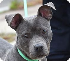 New Haven, CT - American Pit Bull Terrier Mix. Meet BLUE, a puppy for adoption. http://www.adoptapet.com/pet/11845059-new-haven-connecticut-american-pit-bull-terrier-mix