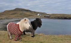 Des Poneys Shetland Habillés De Shetland Dans Les Iles Shetland - #lbdw
