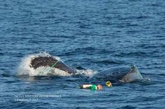 Second whale entanglement since start of Dungeness crab season spotted Wednesday