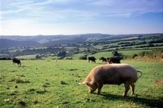 Raising pigs on pasture may be something new to you, but you intend to learn more about it, especially because you have heard that this is not...