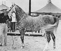 "Fersara (Ferseyn x Bint Sahara), 1947 gray mare. Dam of Ferzon (x Ferneyn) and The Real McCoy (x Aarief). ""Bred & owned by the McCoys, Fersara was many times a champion and she had 8 foals, all of whom won championships. Fersara was sired by Ferseyn, S California Champion Stallion and she was out of Bint Sahara, one of the most influential Arabian broodmares."""