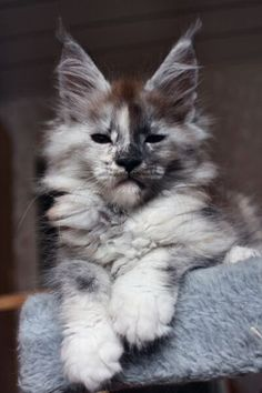9 Most Loving Cat Breeds and like OMG! get some yourself some pawtastic adorable cat apparel! http://www.mainecoonguide.com/how-to-tell-if-a-kitten-is-a-maine-coon/
