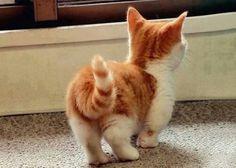 """Esta es una especie de gato llamada """"Munchkin"""", caracterizada por tener las patas cortas"""