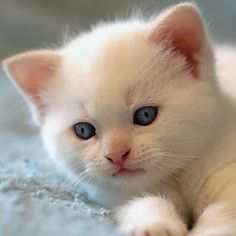 Everything you need to know regarding Cats giving birth - #Differentcats- See more stunning Persian Cat Breeds at Catsincare.com!