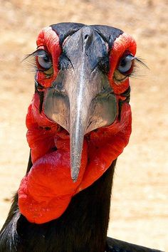 southern ground hornbill - look at those eyelashes! #bird #animal