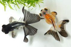 Demekin ( Telescope goldfish )
